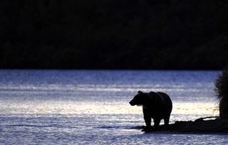 3045_planet_carnivore_king_bear-10_04700300