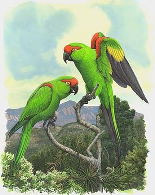 1080_Thick_billed_Parrot
