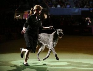 Hickory scottish deerhound best in show westminster kennel club 2011 winner