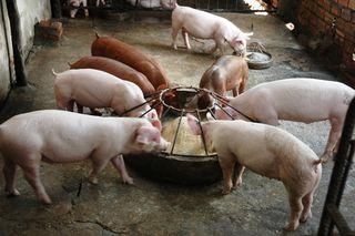 Pig1_fs