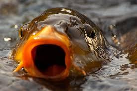 Talking carp