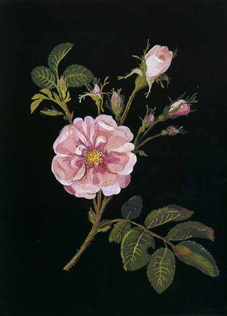 9 Damask Rose copy