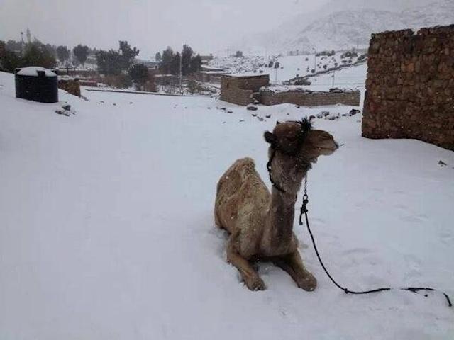 Camel-in-Snow1