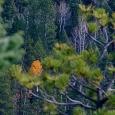 Quaking aspen mid pines